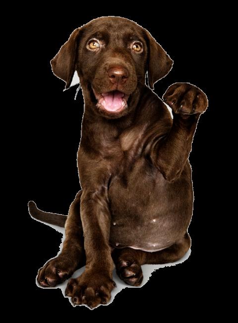 cão lavrador castanho